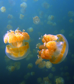 the jellyfish lake in palau