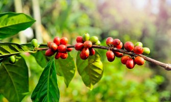 Touring a Coffee Plantation in Panama
