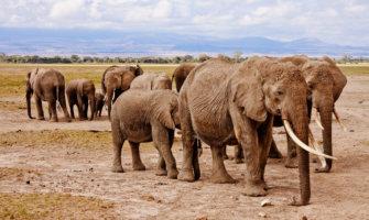 A herd of elephants in East Africa