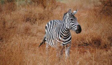 Zebra in the wild running in long grass