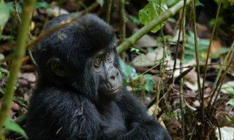 How to Go Trekking with Gorillas in Uganda