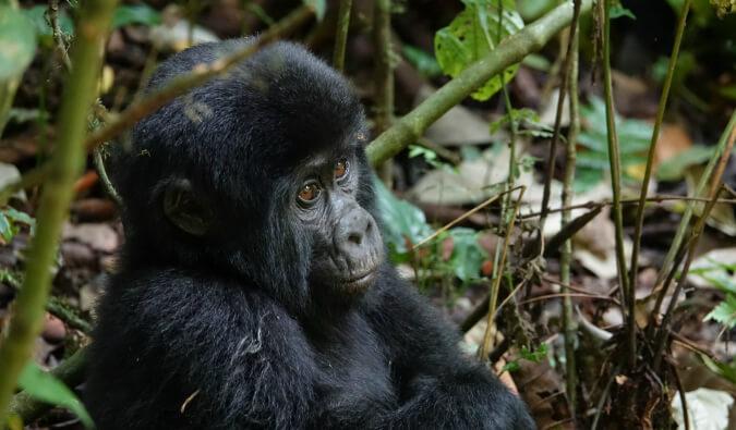 baby gorilla in Uganda in the jungle