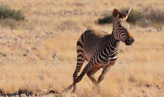 a zebra running in the wild