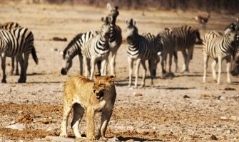 Lion in the center of zebras in the wild roaring
