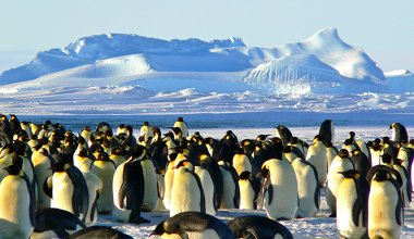 Group of Emperor penguins in the wild