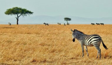 A zebra on the plains of Kenya in Africa