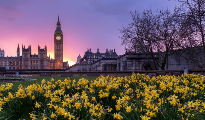 daffodils in the foreground in a park in London. In the background Big ben and the Houses of Parliament are to the left
