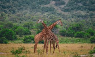 Two giraffes in Rwanda