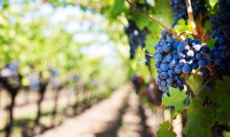 Vines growing in a vineyard in Napa